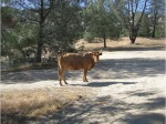 4463318-Stray_Cattle_Lake_Isabella