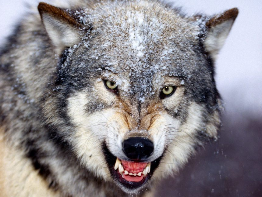 Snarling-Gray-Wolf