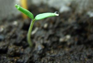 sprouting-tomato-plant