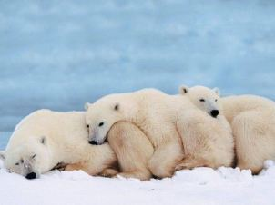 polar-bear-cuddle-fest
